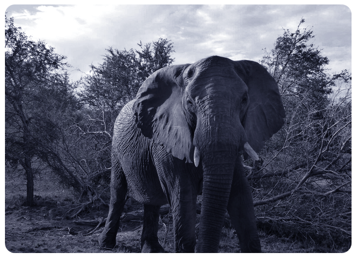 Wildlife monitoring elephant